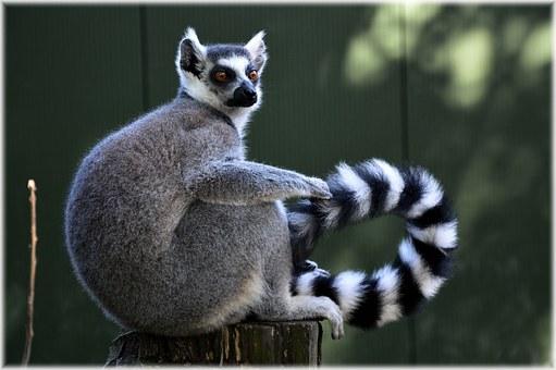 ekologia lemur